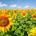 Sunflowers under the blue sky. beautiful rural scene — Stock Photo #3437211