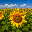 Sunflowers under the blue sky. beautiful rural scene — Stock Photo #3437212