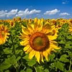 Sunflowers under the blue sky. beautiful rural scene — Stock Photo #3437212