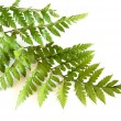 Royalty-Free Stock Photo: Green fern