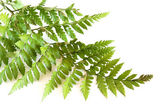Green fern — Stock Photo
