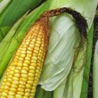 Fresh corn — Stock Photo #2872373