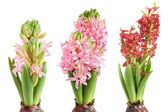 Growing hyacinth — Stock Photo