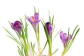 Violet crocuses — Stock Photo