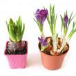 Growing hyacinth and crocuses — Stock Photo