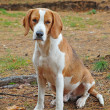 Dog hound - Stock Photo