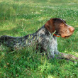 German wirehaired pointer — Stock Photo #3133480