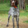 German wirehaired pointer — Stock Photo #3133528