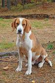 Dog hound — Stock Photo
