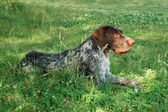 Duits wirehaired pointer — Stockfoto
