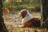 休息的狗 — 图库照片