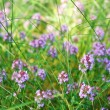 Blooming thyme flowers - Stock Photo
