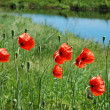Stok fotoğraf: Red poppies