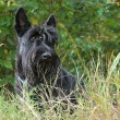 Scottish terrier - Foto de Stock  