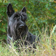 Scottish terrier - Stockfoto