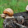 Big snails - Stock Photo