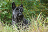 Scottish terrier — Stockfoto