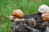 Big snails — Stock Photo
