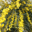 Mimosa tree flowers — Stockfoto
