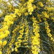 Mimosa tree flowers — Stock fotografie