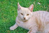 Tawny kot — Zdjęcie stockowe