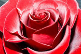 Röd ros — Stockfoto