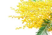 Mimosa — Stock Photo
