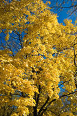 Maple in Fall — Stock Photo