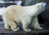 Polar bear — Stock fotografie