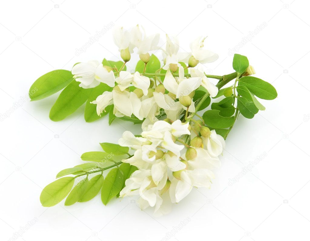 Acacia flowers on a white background — Stock Photo #3678775