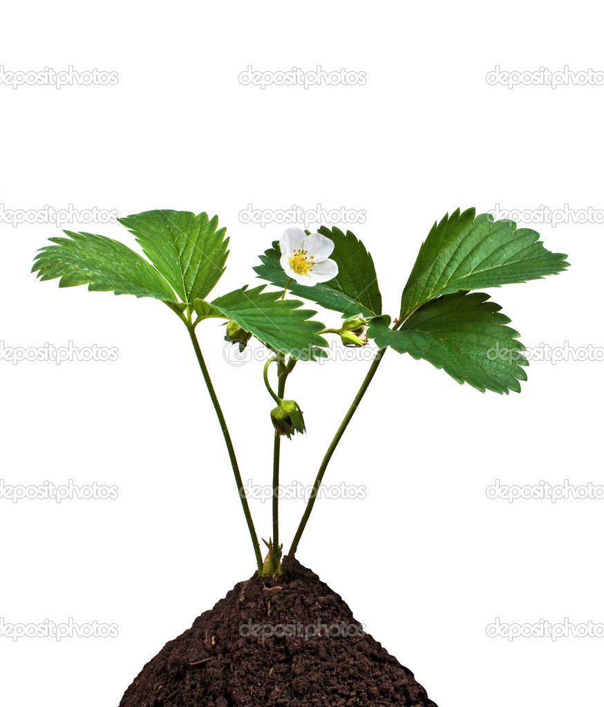 Green plant in the soil on the white background  — Stock Photo #3291449