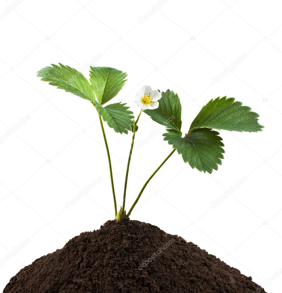 Green plant in the soil   isolated on white background  — Stock Photo #3304301