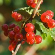Bunch of red currant — Stock Photo #3462554