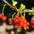 Bunch of red currant — Stock Photo #3471428