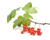 Bunch of red currant — Stock Photo
