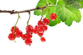 Bunch of red currant — Stok fotoğraf