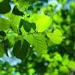 Green fresh foliage — Stock Photo