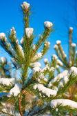 Top of pine tree with snow — Stock Photo