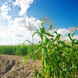 Side of corn field - Stock Photo