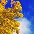 Autumn yellow maple tree — Stock Photo