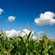 Corn and heaven — Stock Photo