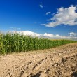 Side of cornfield — Stock Photo