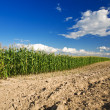 Stock Photo: Side of cornfield