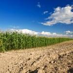 mısır tarlası tarafında — Stok fotoğraf #3706630