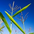 Corn on a background of the sky — Stock Photo