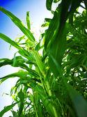 Green corn on a sky — Stockfoto