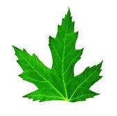 Isolated leaf — Stock Photo