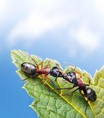 Kissing ants on leaf under blue sky — Stock Photo