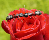 Ants kiss on rose — Photo