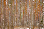 Pine winter forest - trunks of trees — Stock Photo